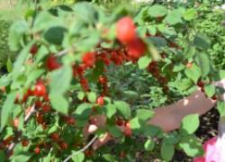 ПЯТЬ важных дел на ягодниках в июле