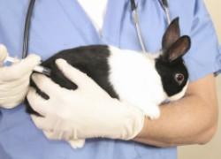 Как защитить кролика от кокцидиоза