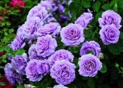 У каких роз бывает семь листочков