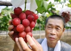 Самые популярные сорта китайского винограда