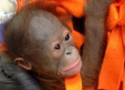 В новосибирске успешно прооперировали новорожденного орангутана