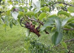 Причины и проверенный способ лечения усыхания листвы