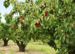 Чего не хватает вишне