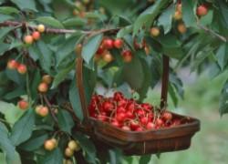 Выбираем лучшие сорта черешни для сада