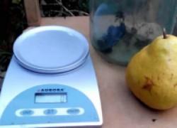 Огромная груша яблунивська