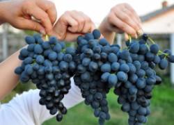 Какой сорт винограда дольше хранится