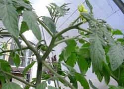 Почему жируют томаты и как «растрясти лишний жирок»