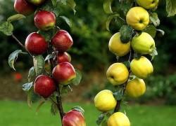 Семейная многосортовая яблоня