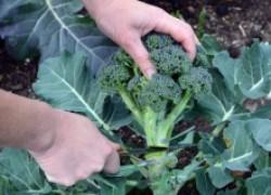 8 секретов отличного урожая брокколи