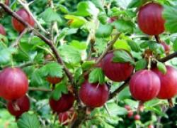 Как помочь ягодникам пережить жару