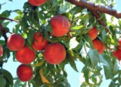 Персик: сорта от гигантов до малышей