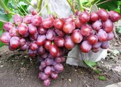 Фавор – столовый сорт винограда с очень крупными ягодами