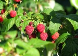 Как собирать сладкую малину до сентября