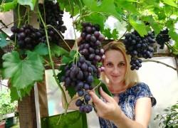 А в тайге под красноярском уже созрел виноград Кодрянка