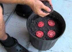 Как вырастить рассаду из кусочка помидора