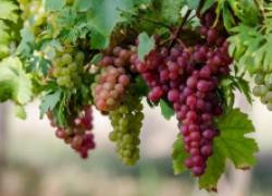 Как отличить экологически чистый виноград
