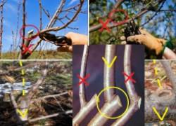 Обрезка вишни и черешни – только летом