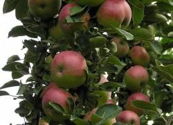 Колонновидная яблоня арбат