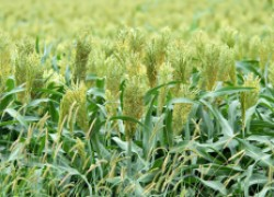 Зачем россиянам нужна суданская трава