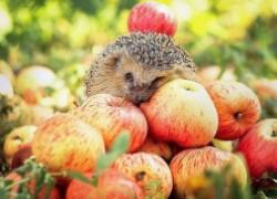 Сорта самых вкусных и полезных яблок
