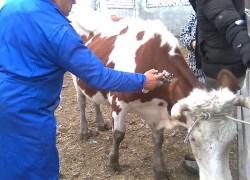 Опасен ли коровий лейкоз для человека?