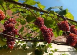 Тепло южному винограду под москвой