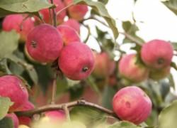 Калифорнийская щитовка на яблоне