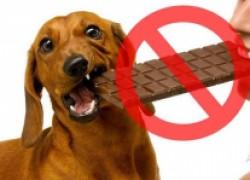 Шоколад для собаки – яд