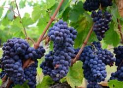 Гуапсин – панацея от грибковых болезней на винограднике