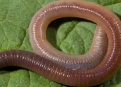 Для чего нужно разводить дождевых червей