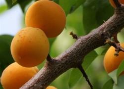 Ждут обрезки вишни, сливы, абрикос