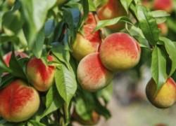 Помогите персику выжить зимой готовим персики к зимовке летом