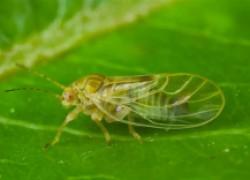 Медяница: сладкий, смертельно опасный для сада вредитель