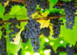 Селекция винограда для новичков