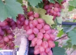 Сорта винограда для ленивых