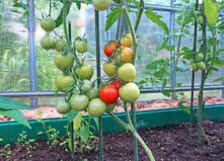 Арсенал препаратов против болезней помидоров