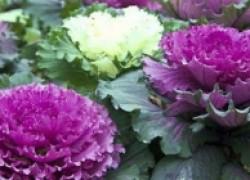 Диета для огородной боярыни