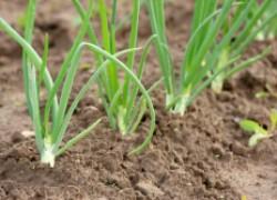 Тонкости выращивания лука батуна