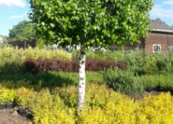Какие деревья нельзя сажать в саду