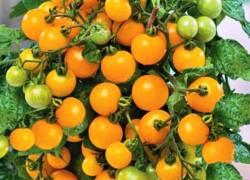 Какие томаты лучше, высокие или низкие