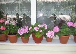 Пора готовить комнатные цветы к зимовке