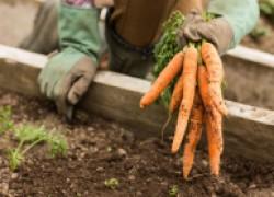 Сеем морковь под зиму