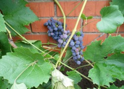 Амурский виноград: маленький, но полезный