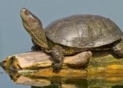 Сказ о том, как мы спасли болотных черепах