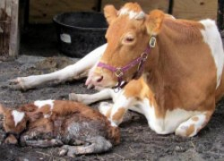 Корова отелилась раньше на месяц