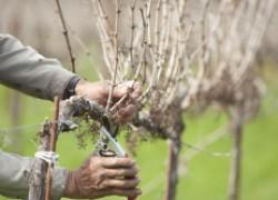 Удаляю лозы на винограде. Правильно ли это?