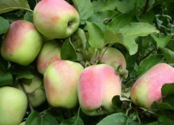 Погибли прививки на яблоне! В чем дело?