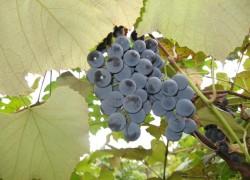Что такое земляничный виноград