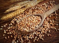 Полба – пшеница, которую ели наши предки