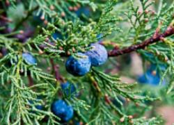Все ли ягоды можжевельников съедобны?